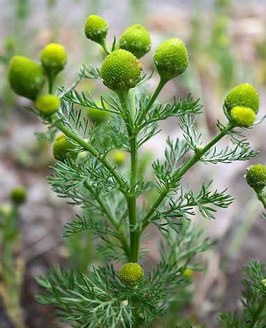 cvety-pohozhie-na-astry-nazvanie_14.jpg