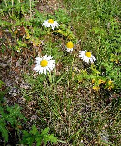 cvety-pohozhie-na-astry-nazvanie_15.jpg