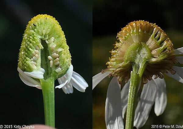 cvety-pohozhie-na-astry-nazvanie_16.jpg