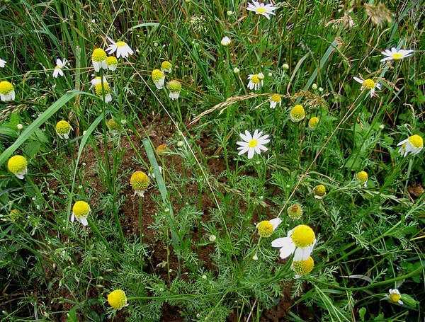 cvety-pohozhie-na-astry-nazvanie_19.jpg