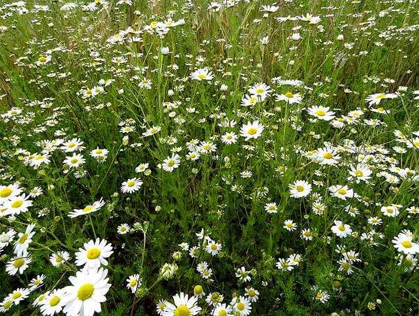 cvety-pohozhie-na-astry-nazvanie_20.jpg