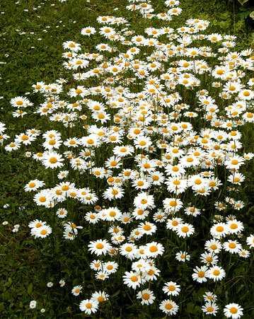 cvety-pohozhie-na-astry-nazvanie_22.jpg