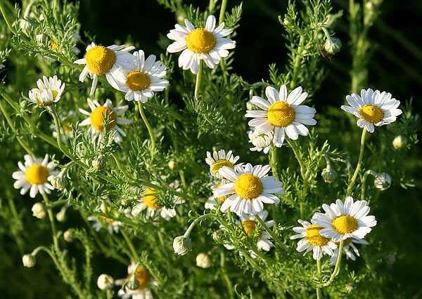 cvety-pohozhie-na-astry-nazvanie_24.jpg