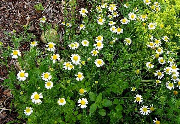 cvety-pohozhie-na-astry-nazvanie_26.jpg