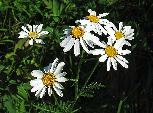 cvety-pohozhie-na-astry-nazvanie_27.jpg