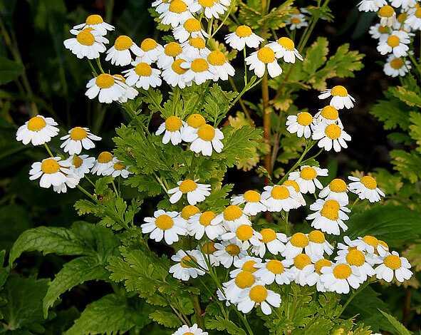 cvety-pohozhie-na-astry-nazvanie_28.jpg