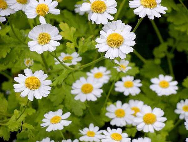cvety-pohozhie-na-astry-nazvanie_29.jpg