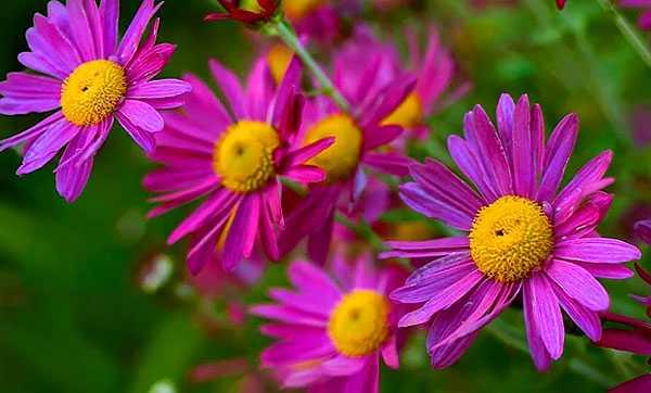 cvety-pohozhie-na-astry-nazvanie_30.jpg