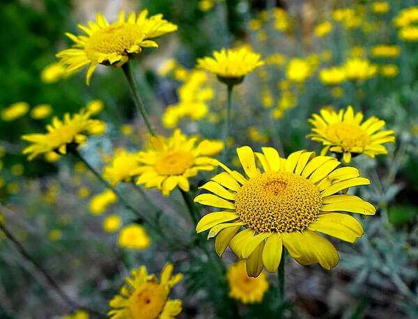 cvety-pohozhie-na-astry-nazvanie_31.jpg