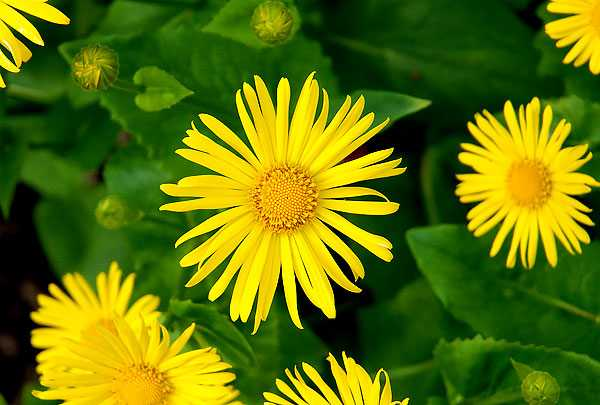 cvety-pohozhie-na-astry-nazvanie_32.jpg