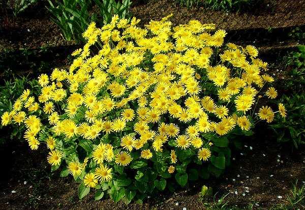 cvety-pohozhie-na-astry-nazvanie_33.jpg