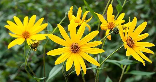 cvety-pohozhie-na-astry-nazvanie_36.jpg