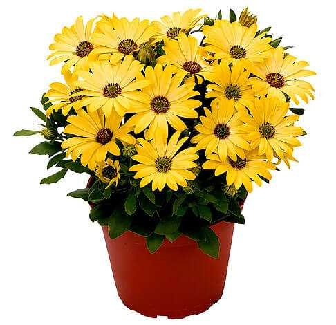 cvety-pohozhie-na-astry-nazvanie_37.jpg