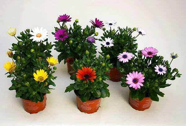 cvety-pohozhie-na-astry-nazvanie_39.jpg