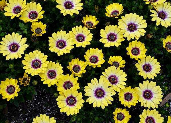 cvety-pohozhie-na-astry-nazvanie_40.jpg
