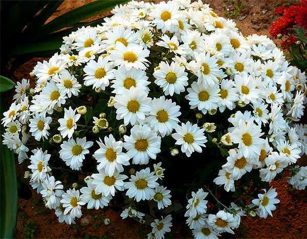 cvety-pohozhie-na-astry-nazvanie_43.jpg