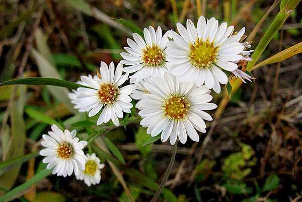 cvety-pohozhie-na-astry-nazvanie_47.jpg