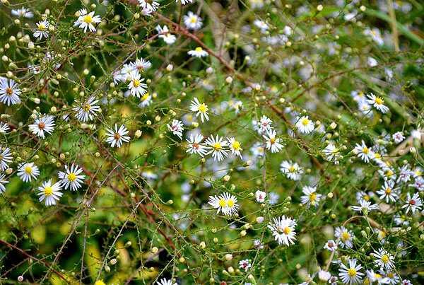 cvety-pohozhie-na-astry-nazvanie_48.jpg