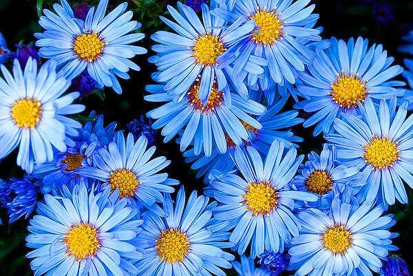 cvety-pohozhie-na-astry-nazvanie_49.jpg