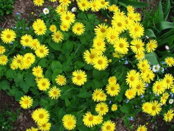 cvety-pohozhie-na-astry-nazvanie_5.jpg