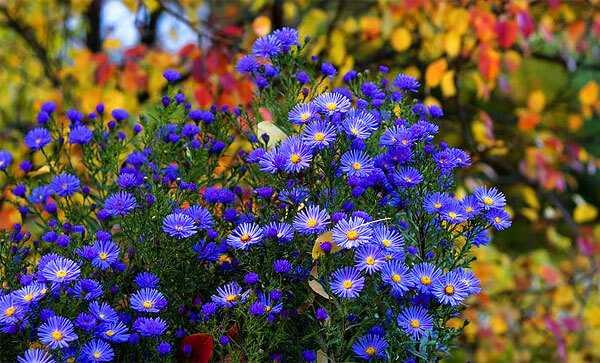 cvety-pohozhie-na-astry-nazvanie_50.jpg