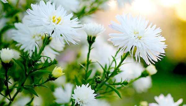 cvety-pohozhie-na-astry-nazvanie_51.jpg