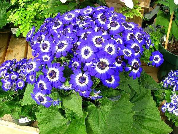 cvety-pohozhie-na-astry-nazvanie_52.jpg