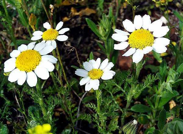 cvety-pohozhie-na-astry-nazvanie_54.jpg
