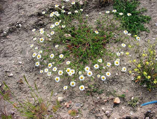 cvety-pohozhie-na-astry-nazvanie_55.jpg
