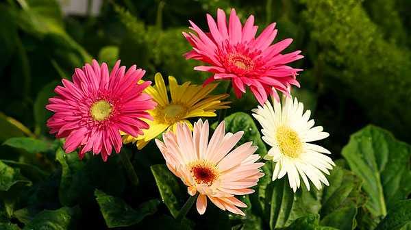 cvety-pohozhie-na-astry-nazvanie_57.jpg