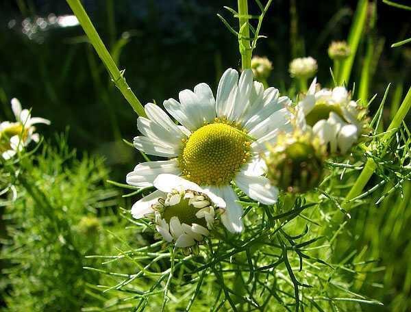 cvety-pohozhie-na-astry-nazvanie_58.jpg