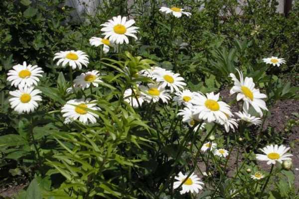 cvety-pohozhie-na-astry-nazvanie_6.jpg