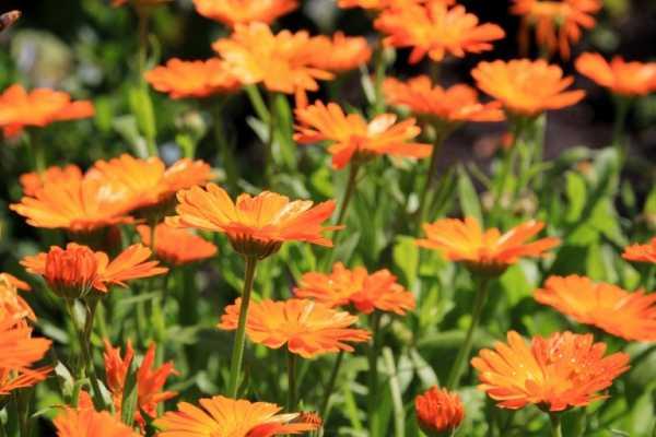cvety-pohozhie-na-astry-nazvanie_7.jpg