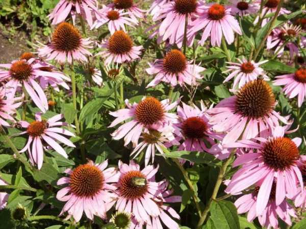 cvety-pohozhie-na-astry-nazvanie_8.jpg