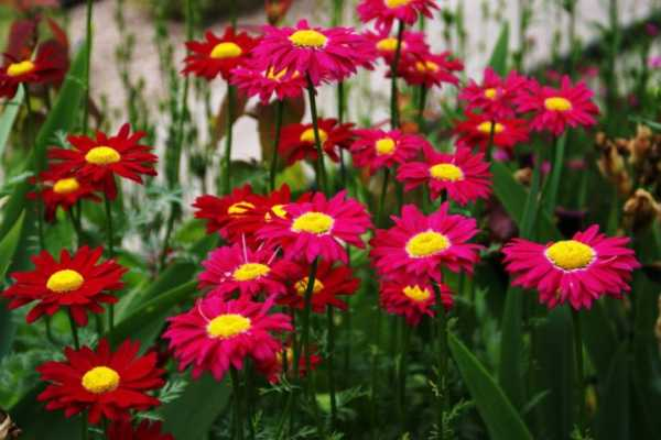 cvety-pohozhie-na-astry-nazvanie_9.jpg