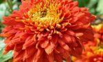 Цветы хризантемы осенние – Цветы сентября на дачных участках. Подборка статей и видео на сайте 7 дач