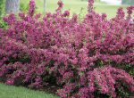Декоративные цветущие кусты – Кустарники для дачи: морозоустойчивые и декоративные фото, названия, описание