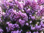 Декоративные кустарники с белыми цветами названия и фото – фото и название растений, цветущих розовыми бутонами, многолетние садовые культуры