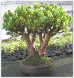 Денежное дерево или толстянка – Выращиваем цветок Денежное дерево — ухаживаем старательно, демонстрируем благосостояние на подоконнике