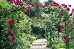 Дизайн розы в саду – Розы в ландшафтном дизайне сада, в том числе плетистые, почвокровные и прочие, идеи с фото, сочетание с другими цветами