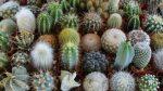 Домашние кактусы виды – виды домашних комнатных растений, красивые цветущие, с листьями плоскими и длинными, какие бывают, обыкновенный и желтый, описание, видео