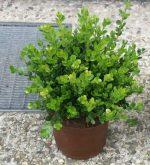 Домашний самшит – размножение вечнозеленого кустарника, обрезка, посадка, уход в домашних условиях и фото
