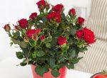 Домашняя роза декоративная – как посадить, выращивать, пересаживать, уход в домашних условиях, сорта, как сохранить, если вянет