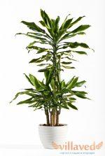 Драцена драгон – уход в домашних условиях, как рассадить, почва для драцены, чем подкармливать, черенкование, сорта микс, голд, лайм