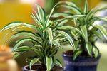 Драцена размножение деремская – фото, уход и размножение в домашних условиях, виды, почему сохнут, вянут листья, почему не цветет, видео