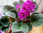 Есения глоксиния – Глоксиния есения: рассмотрим фото этого замечательного цветка, болезни и особенности размножения, также всё об уходе за бархатной красавицей