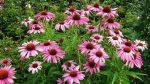 Эхинацея в ландшафтном дизайне сада фото – выращивание и уход, посадка растения в открытом грунте в саду, когда посадить эхинацею в сад