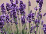 Фиолетовых в тонах цветы – Фиолетовые цветы виды. Цветы фиолетового цвета. Названия, описание, значение цветов фиолетового цвета