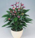 Фото антуриум фиорино – Купить Антуриум Андрианум Фиорино | Антуриумы | Красиво-цветущие | Горшечные цветы и растения