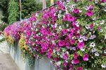 Фото цветок петуния – что это за растение, его описание и фото, сколько и как живет в вазоне на балконе и в горшке на улице и как выглядят цветы помельче, похожие на нее?